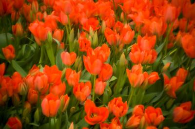 Tulips_0002