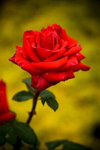 Red Rose_0012