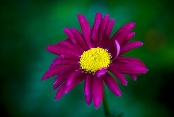 purple daisie_0020