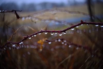 Rain Drops & Thorns---Kintnersville, PA