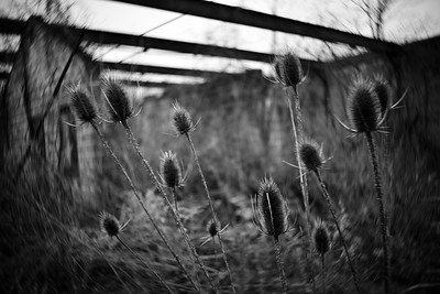 Thistles---Collegeville, PA