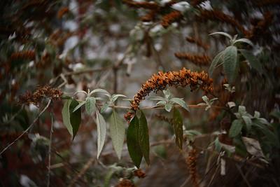 Winter Greenery–––Belvidere, NJ