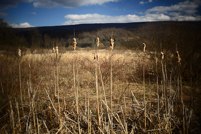 Cattails---Bedford, PA