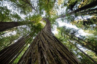 Spiraling Redwood