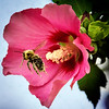 Pollinated Bumble Bee