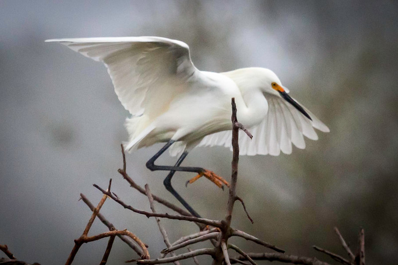 Snowy Egret in Orange Mating Plumage