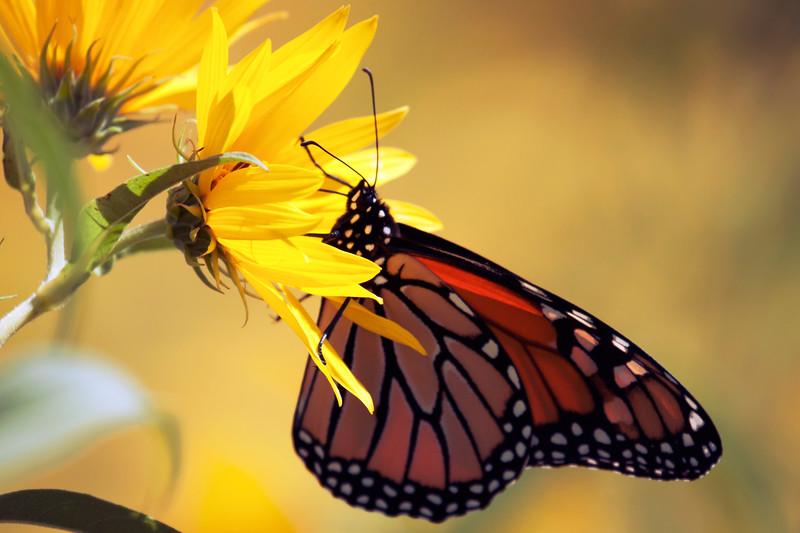 Monarch Dreams