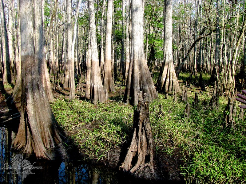 Cypress Forest After The Flood