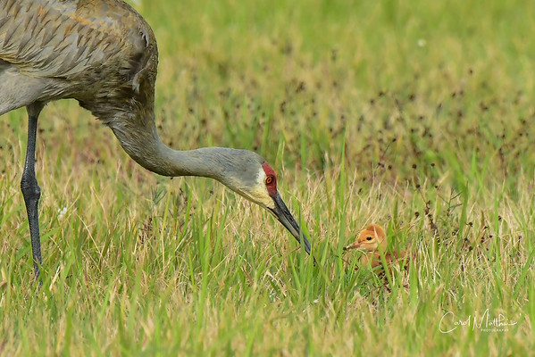Sandhill crane adult and colt-3