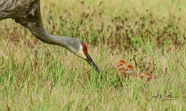 Sandhill crane adult and colt-7