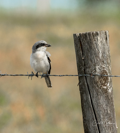bird on a barbed wire-3