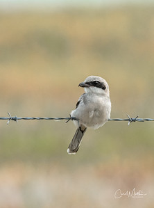 bird on a barbed wire-2