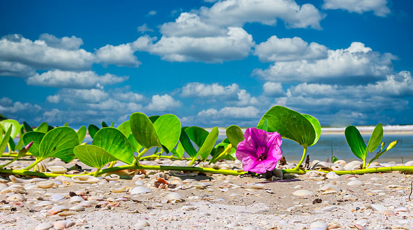 Railroad vine on the beach-1