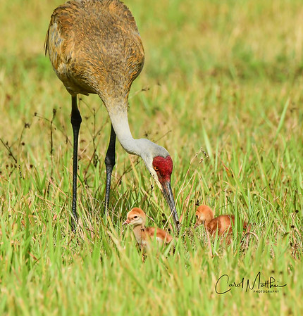 Sandhill crane mamma and kids
