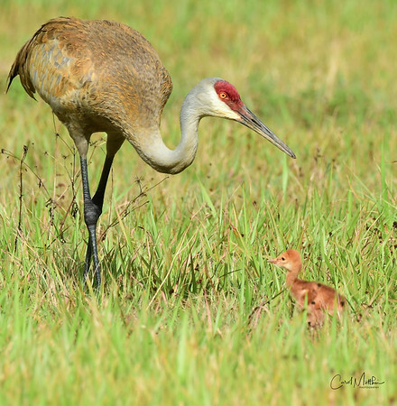 Sandhill crane adult and colt-11