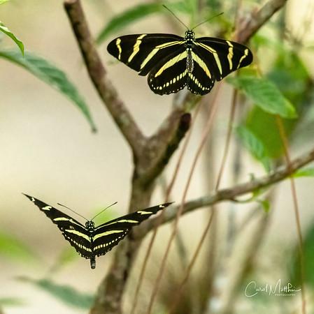 2 zebra longwings