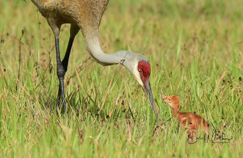 Sandhill crane mamma and baby-2