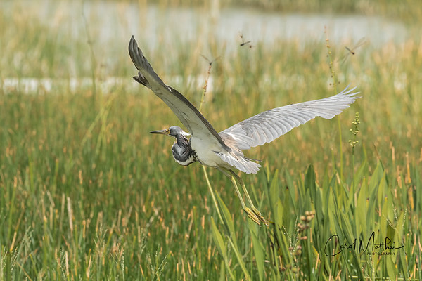tri-flight through the marsh