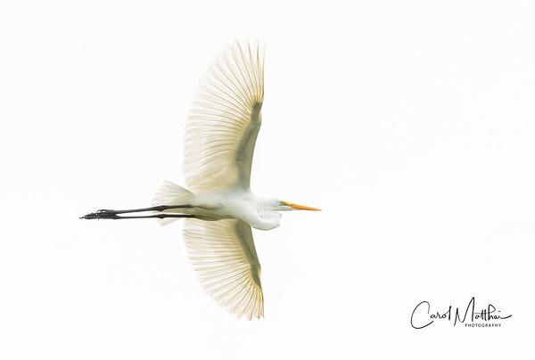 Great Egret high key