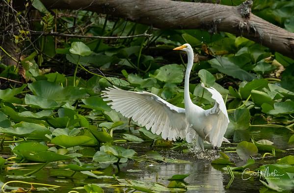 Egret splasing