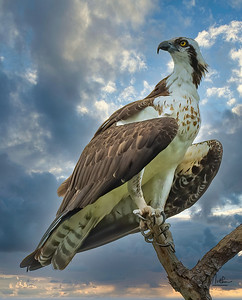 Osprey on beautiful sky