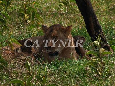 Lioness With Cubs At Rest Lake Nakuru National Park Kenya