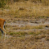 Thomson's Gazells Amboseli National Park Kenya Africa