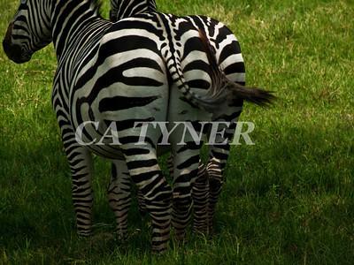 Zebras Lake Nakuru Nat Park Kenya Africa