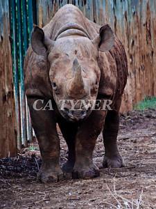 Max-Blind Rhino- Sheldrick Wildlife Trust Nairobi Kenya