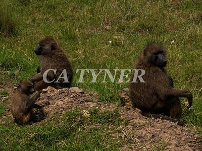 Baboon Family Lake Nakuru Nat Park Kenya Africa