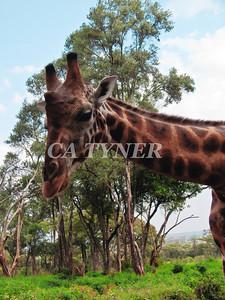 Giraffe Manor Nairobi Kenya.