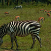 Zebras And Thomson's Gazells Lake Nakuru National Park Kenya