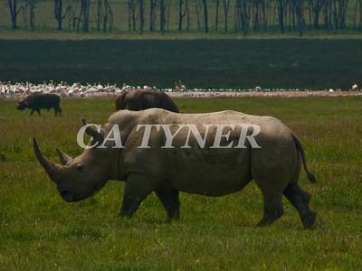 White Rhino 2 Lake Nakuru Nat Park Kenya Africa
