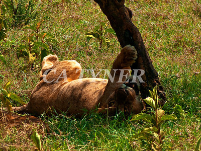 Lioness Lake Nakuru National Park Kenya