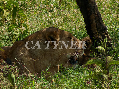 Lioness And Cub Lake Nakuru National Park Kenya