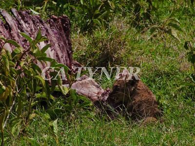 Lion Cub Lake Nakuru National Park Kenya