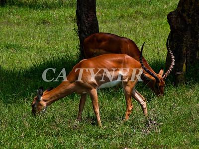 Impala Lake Nakuru National Park Kenya