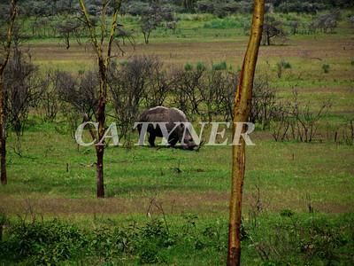 White Rhino Lake Nakuru Nat Park Kenya Africa