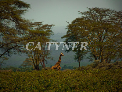 Giraffe Lake Nakuru National Park Kenya