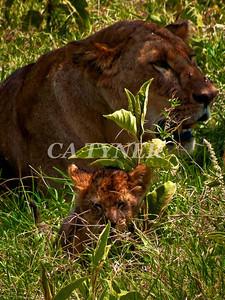 Lioness and Cub Lake Nakuru National Park Kenya