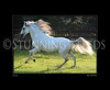 paso fino stallion galloping