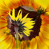 Sunflower Composite