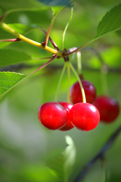 Cheerful Cherries