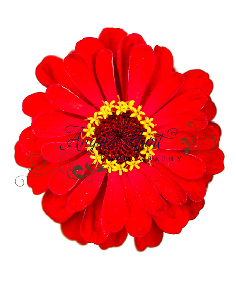 Red zinnia on white.