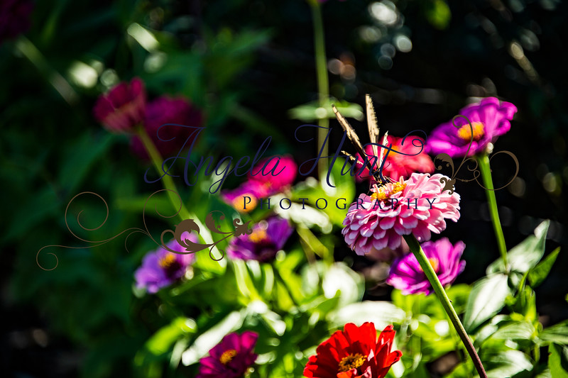 Butterfly on zinnias.