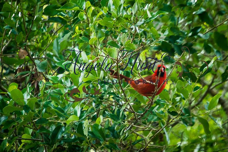 Cardinals-7705