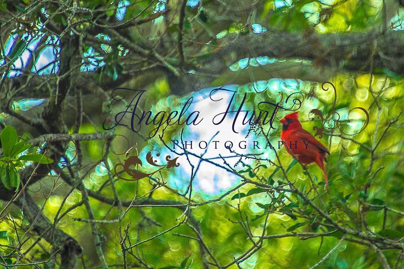 Spring Cardinal.