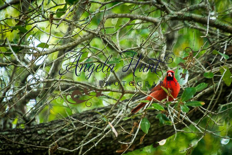 Cardinals-7712