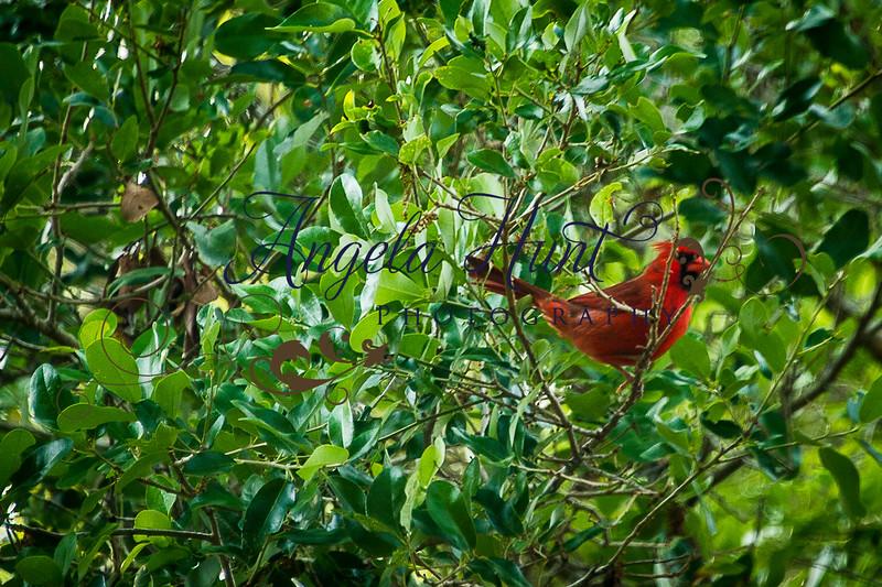 Cardinals-7706