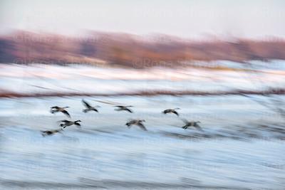 Canada Geese (Branta canadensis) in flight over frozen wetlands, West Lafayette, Indiana.